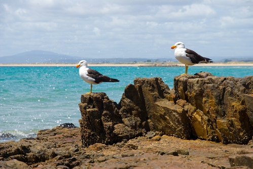 Seagulls gazing out to sea at the beach only a short walk from The Macleay