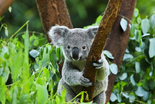 Get to know Australia's favourite tree-huggers at Taronga Zoo.